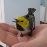 Saving a Hermit Warbler in San Pedro