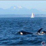 Whale Watching Near Steveston Village, BC