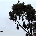 Flying Foxes at Cairns Esplanade (Video)